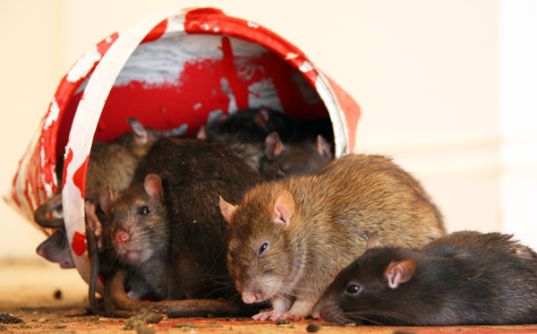 Rats at Crude Oils